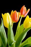 Red and yellow tulip blooms — Stock Photo