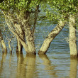 Trees in the flood — Stockfoto