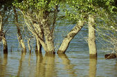 Trees in the flood — Stock Photo