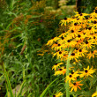 W ogrodzie Rudbeckia - Stockfoto