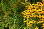 W ogrodzie Rudbeckia — Stock Photo