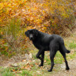 Black labrador retriever dog — Foto de Stock