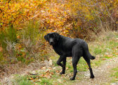 Black labrador retriever dog — Stock Photo