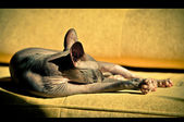 Egyptian cat is basking in the sun — Stock Photo