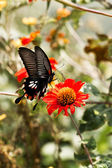 Eastern Tiger Swallowtail — Stock Photo
