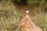 White-browed wagtail on the chump — Stock Photo