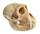 Skull of an animal upper jaw isolated on white — Stock Photo