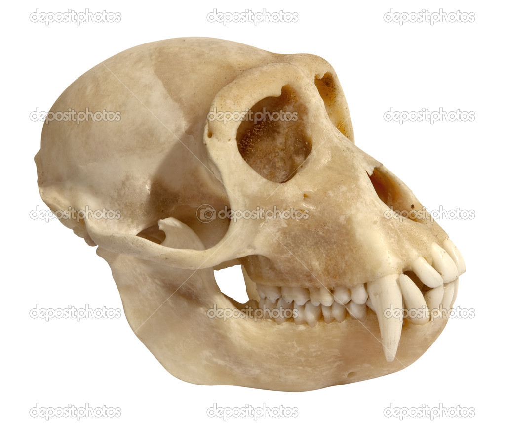 Skull of an animal isolated on white. side view. — Stock Photo #6915796