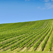 Foto Stock: Vineyard landscape in summer