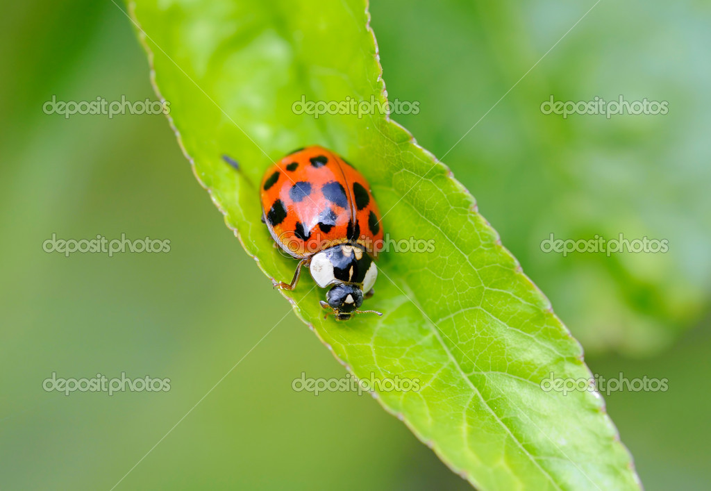 Ladybug on green leaf  Stock Photo #6922436