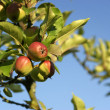 Apples on apple tree branch — Stock Photo