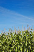 Cornfield in summer against blue sky — Stock Photo