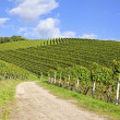 Path leading through vineyard landscape — Stock Photo