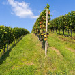 Grapevine against blue sky — Stock Photo #6974972