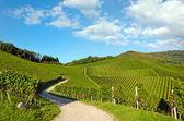 Path through vineyard — Stock Photo