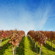 Stock Photo: Rows of grapevine at the vineyard