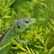 Lizard in herb - Stock Photo