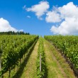 Path through vineyard — Stock Photo