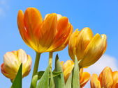 Spring tulips background — Stock Photo