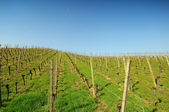 Vineyard landscape in summer — Stock Photo