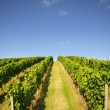 Vineyard in summer — Stock Photo #7193808