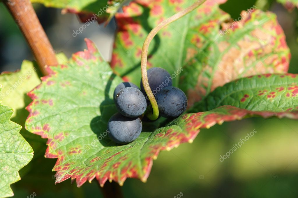 Grapes in a leaf at the vineyard  Stock Photo #7208757