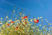 Prado colorida para el verano — Foto de Stock