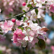 Cherry blossoms — Stock Photo #7224598