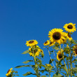 Sunflower field over blue sky — Stock Photo #7225129