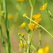 Stock Photo: Yellow buttercup