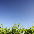 Grapevine leaves against blue sky — Stock Photo