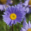 Violet gerbera flower bed — Stock Photo