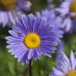Stock Photo: Violet gerbera flower bed
