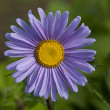 Stock Photo: Violet gerbera