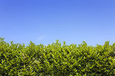 Green hedge blue sky — Stock Photo