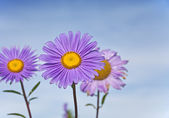 Beautiful purple daisy flower — Stock Photo