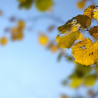 Stock Photo: Golden autumn leaves background