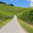 Stock Photo: Path leading through vineyard