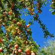 Stock Photo: Mellow mirabelles plum tree