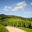 Path leading through vineyard — Stock Photo