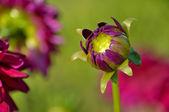 Purple dahlia opening — Stock Photo
