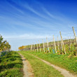 Path through vineyard in autumn — Stock Photo
