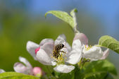 Apple tree flower and bee — Stock Photo