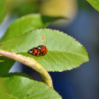 Stock Photo: Lady bugs mating
