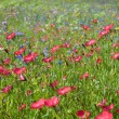 Field of wild flowers — Stockfoto