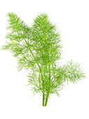 Wild fennel — Stock Photo