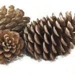 Pine Cones and Needles — Stock Photo