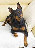 Pinscher dog — Stock Photo