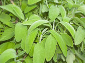 Sage in the home garden — Stock Photo
