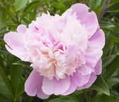Rosa geranio — Foto Stock